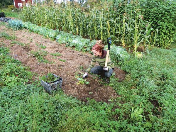 Mika Liffner förbereder denna odlingsbädd genom att rensa bort ogräs och luckra med grepen, för att sedan sätta vitlök i månadsskiftet september-oktober.