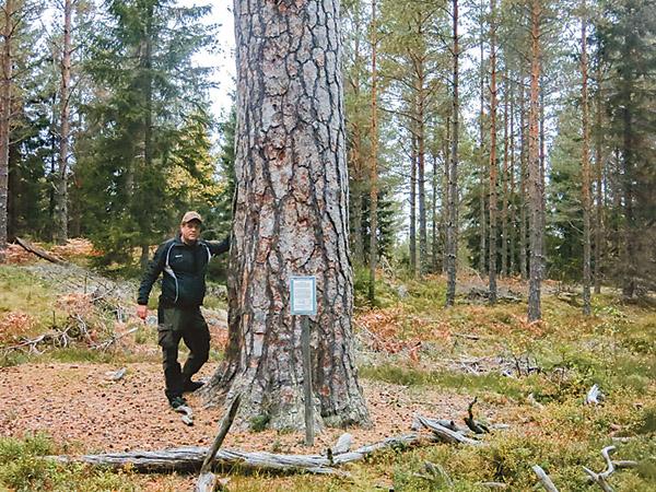 Pålsbotallen, döpt efter backstugan Pålsbo, är den äldsta tallen i Blåvikaskogen, 360 år!