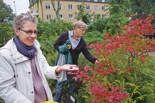 Carina Jonasson, närmast, och Barbro Johansson äter av de amerikanska blåbären som smakar förträffligt. Till höger: En tilltalande koncentration av föreningens kryddväxter i form av en spiral.