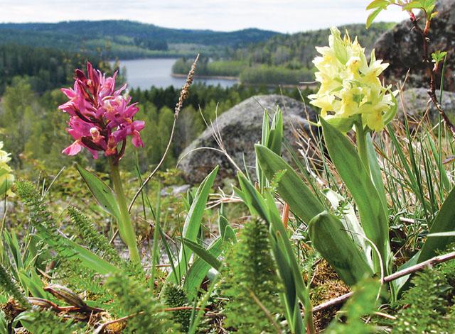 I naturreservatet Idhult blommar orkidéerna Adam och Eva i maj. Då passar det bra att hänga med på en guidad tur. Bild: ANDERS TINGVALL