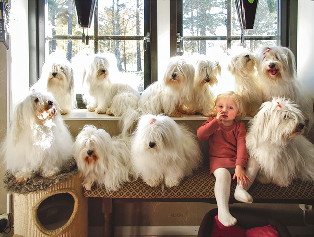 Hela gänget hundgänget, tio coton de tulear, samlat tillsammans med 16 månader gamla Melissa, dotter till Emma Adamsson och Mathias Durkfeldt.