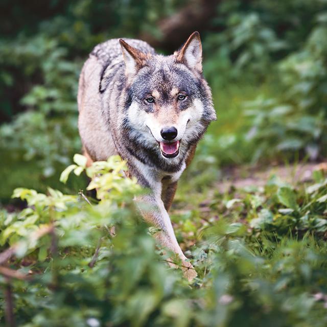 I den nya jaktförordningen blir Förvaltningsrätten i Luleå specialforum för överklaganden av jaktbeslut avseende björn, varg, järv, lo och kungsörn.